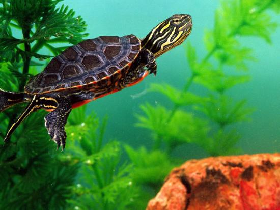 david-northcott-red-belly-turtle-hatchling-native-to-southern-usa