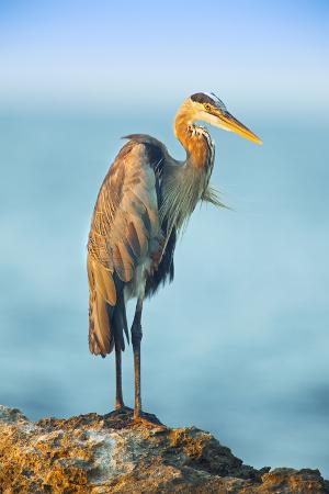 david-slater-mexico-yucatan-great-blue-heron-ardea-herodias-standing-on-coastal-rocks-in-warm-light
