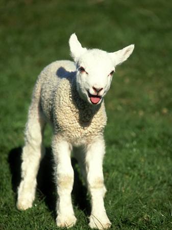david-tipling-lamb-march-wiltshire