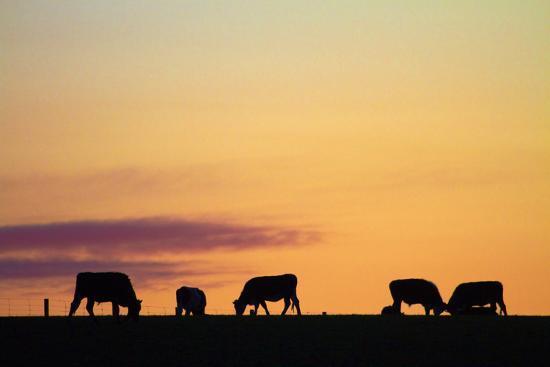 david-wall-cows-at-sunset-near-waimate-south-canterbury-south-island-new-zealand