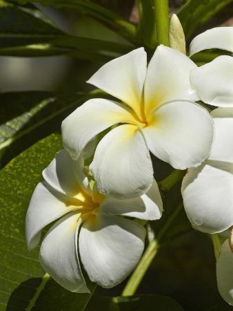 david-wall-frangipani-flowers-plumeria-nadi-viti-levu-fiji-south-pacific