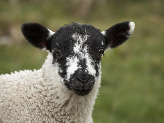david-wall-lamb-near-malham-yorkshire-dales-north-yorkshire-england