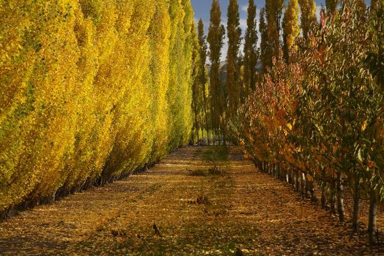 david-wall-orchard-in-autumn-ripponvale-cromwell-central-otago-south-island-new-zealand