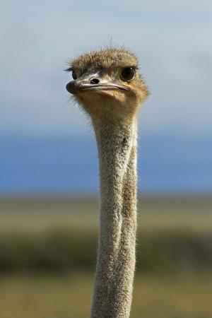 david-wall-ostrich-etosha-national-park-namibia