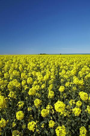 david-wall-rapeseed-field-near-timaru-south-canterbury-south-island-new-zealand