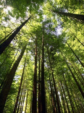 david-wall-redwood-forest-rotorua-new-zealand