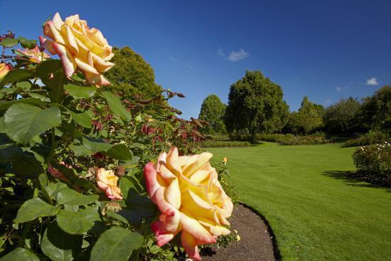 david-wall-roses-in-an-elegant-garden-waikato-north-island-new-zealand