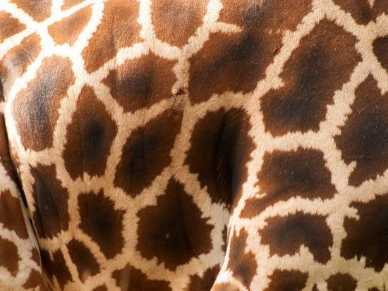 david-wall-rothschild-s-giraffe-skin-australia