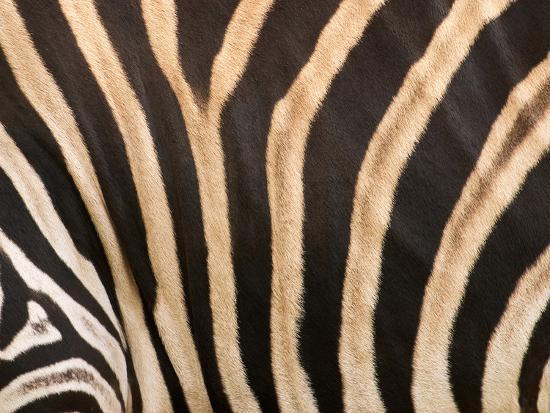 david-wall-zebra-australia