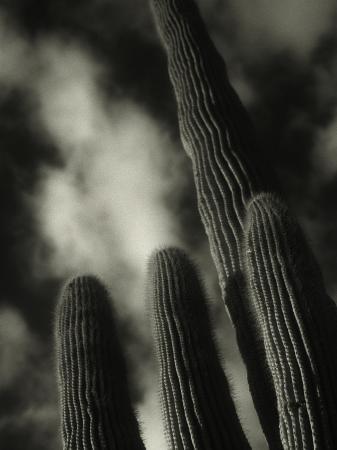 david-wasserman-saguaro-cactus-kofa-nwa-az