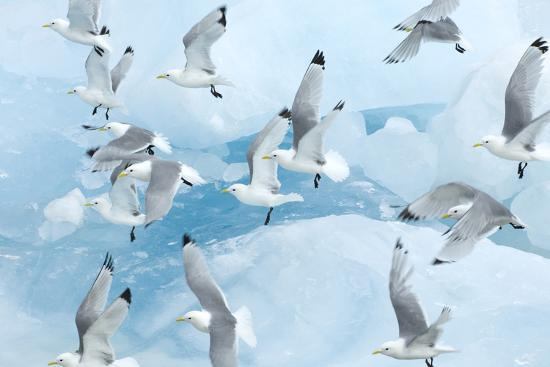 de-la-black-legged-kittiwakes-rissa-tridactyla-in-flight-over-ice-kungsfjord-svalbard-norway-june