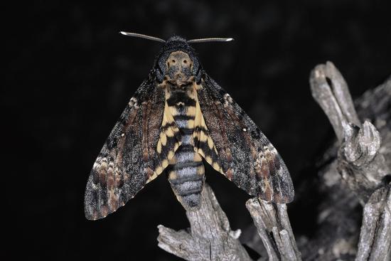 deaths-head-hawk-moth-spain