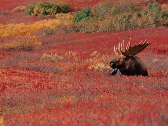 dee-ann-pederson-bull-moose-in-denali-national-park-alaska-usa