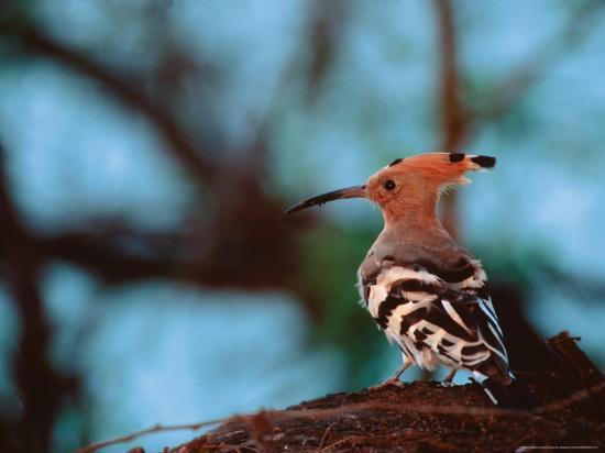 dee-ann-pederson-common-hoopoe-in-bandhavgarh-national-park-india