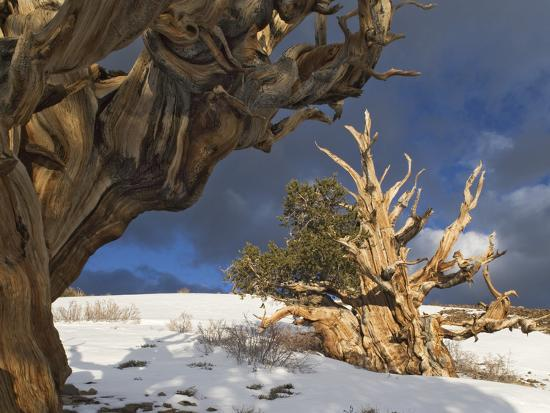 dennis-flaherty-ancient-bristlecone-pine-trees-white-mountains-california-usa