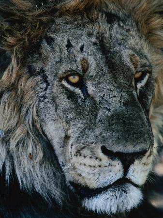 dennis-jones-portrait-of-elderly-lion-panthera-leo-selinda-reserve-botswana