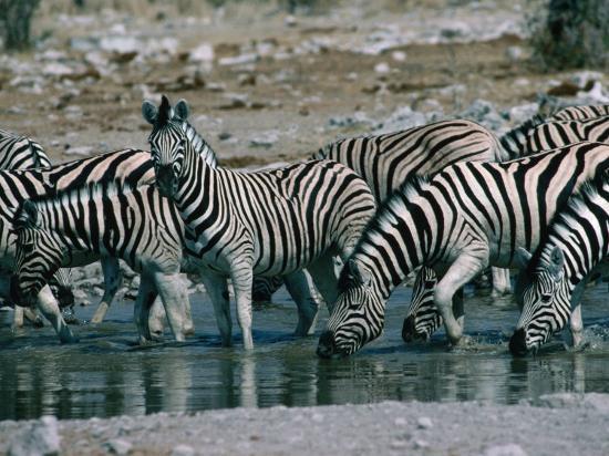 dennis-jones-zebras-equus-zebra-drinking-in-river-etosha-national-park-namibia