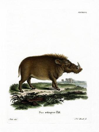desert-warthog