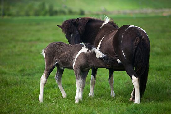 deserttrends-icelandic-horses