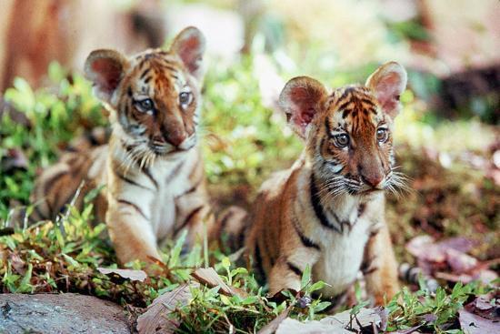 deux-freres-two-brothers-de-jeanjacquesannaud-avec-les-petits-tigres-kumal-sangha-2004