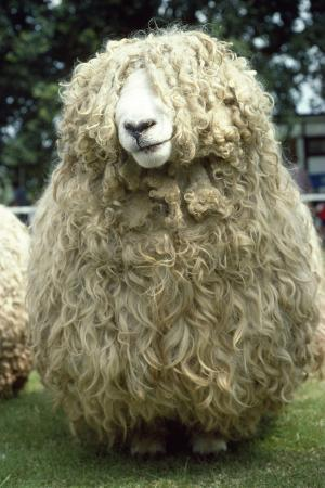 devon-and-cornwall-longwool-sheep