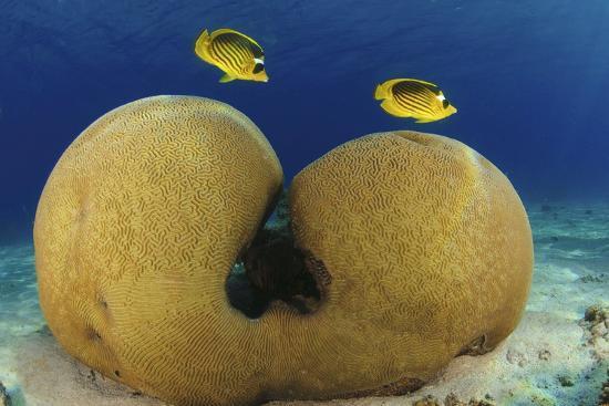 diagonal-butterflyfish