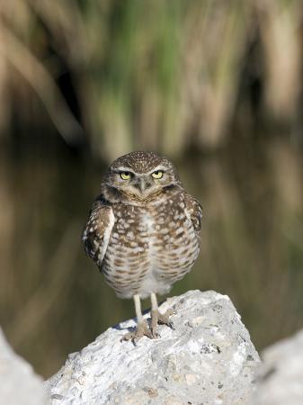 diane-johnson-burrowing-owl-salton-sea-area-imperial-county-california-usa
