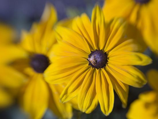 diane-miller-close-up-of-a-bee-on-yellow-flower