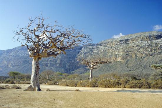 diccon-alexander-myrrh-tree