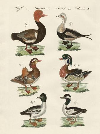 different-kinds-of-ducks