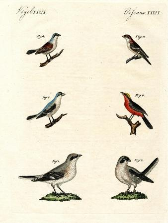 different-kinds-of-shrikes