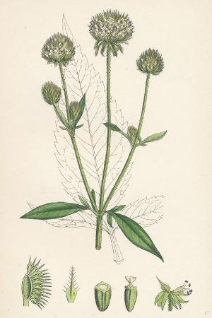 dipsacus-pilosus-small-teasel