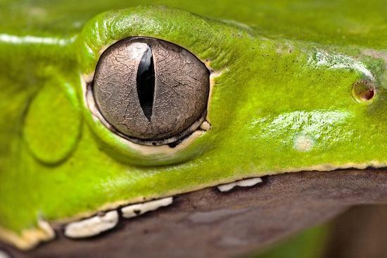 dirk-ercken-frog-eye-amphibian-vertical-pupil-beautiful-animal-detail-of-iris-phyllomedusa-bicolor