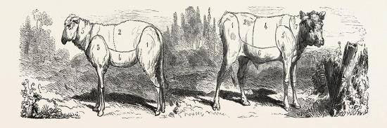 division-sheep-left-division-calf-right-1855