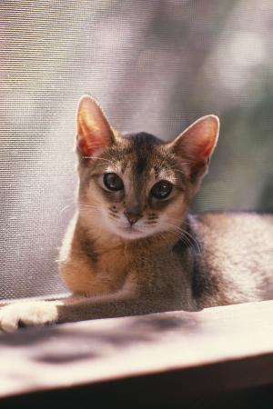 dlillc-abyssinian-ruddy-kitten-by-window-screen