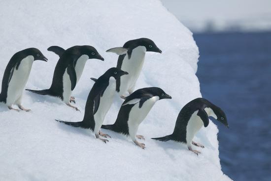 dlillc-adelie-penguins-at-edge-of-ice