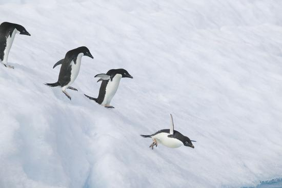 dlillc-adelie-penguins-jumping-into-the-sea