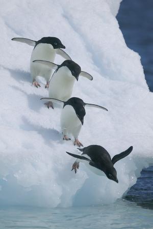 dlillc-adelie-penguins