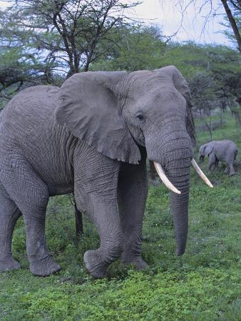 dlillc-african-elephant-and-calf-in-grass