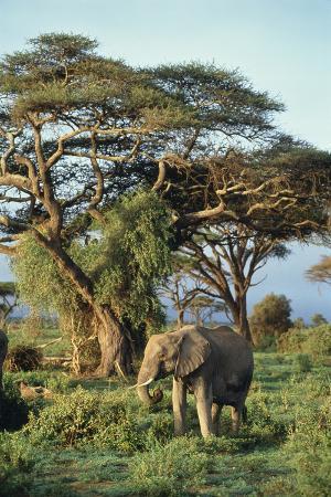 dlillc-african-elephant