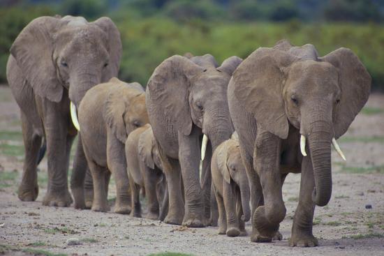 dlillc-african-elephants-walking-in-line