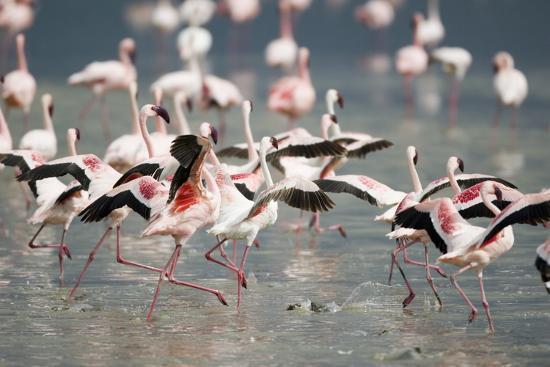 dlillc-american-flamingoes