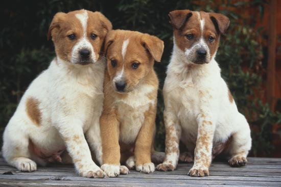 dlillc-australian-cattle-dog-puppies