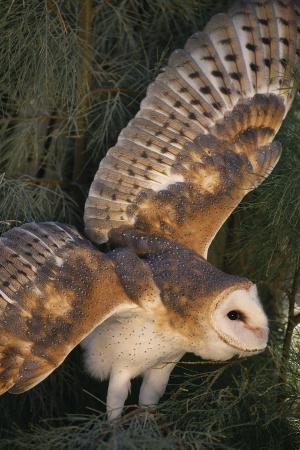 dlillc-barn-owl