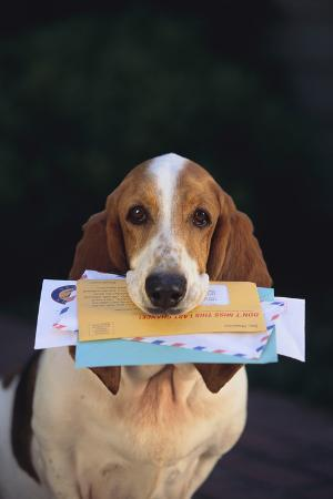 dlillc-basset-hound-fetching-the-mail