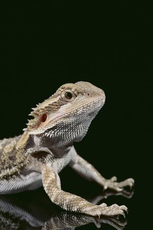 dlillc-bearded-dragon