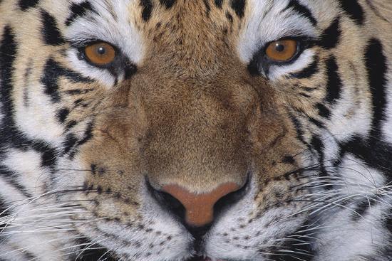 dlillc-bengal-tiger