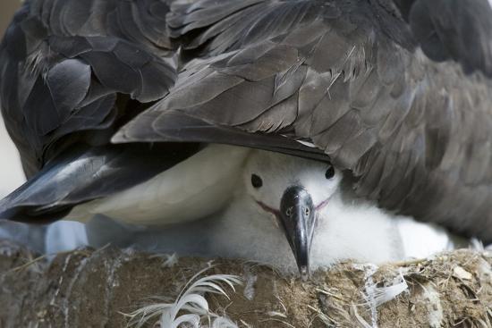 dlillc-black-browed-albatross-chick-peeking-out