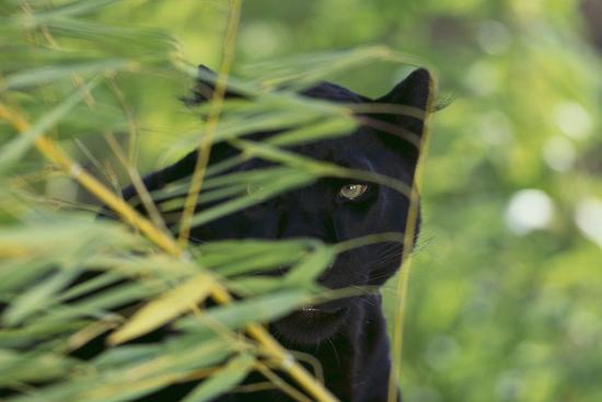 dlillc-black-leopard-behind-leaves