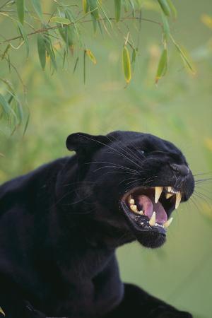 dlillc-black-leopard-snarling